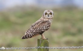 Short-eared Owl at Seaton Common, 11th October 2008