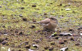 Siberian Accentor at Easington, 14th October 2016