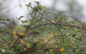 Siberian Stonechat at Cleadon, 15th November 2014