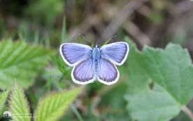 Silver-studded Blue in Norfolk, 21st June 2016