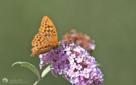 Silver-washed Fritillary at Haverthwaite, 11th August 2006