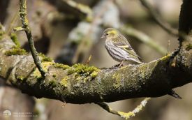 Siskin (female) at Deepdale, 6th March 2016