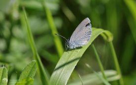 Small Blue in Cumbria, 3rd June 2017