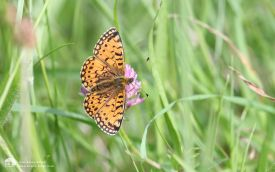 Small Pearl-bordered Fritillary at Waskerley, 21st June 2007