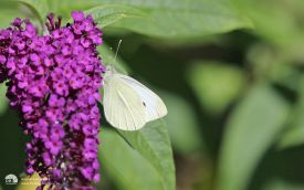 Small White at Etherley Moor, 6th August 2016