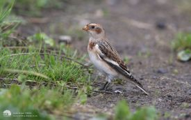 Snow Bunting at Hartlepool Headland, 2nd October 2010