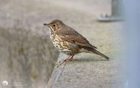 Song Thrush at Stanhope, 30th March 2015
