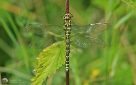 Southern Hawker at Low Barns, 1st August 2015