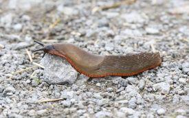 Spanish Slug at Saltholme, 4th September 2016