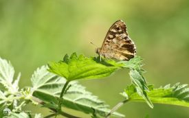 Speckled Wood at Guisborough, 17th July 2016