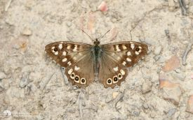 Speckled Wood at Roseberry, 23rd July 2015