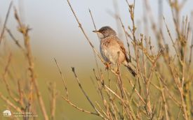 Spectacled Warbler at Burnham Overy, 12th June 2014
