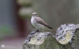 Spotted Flycatcher at Satley, 13th July 2012