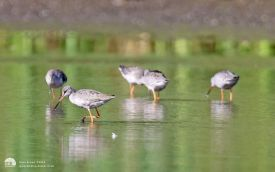 Spotted Redshank at Shibdon Pond, 30th August 2014