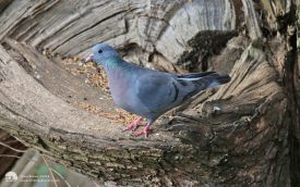 Stock Dove at Low Barns, 11th April 2015