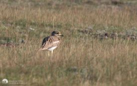 Stone Curlew in Norfolk, 25th August 2008