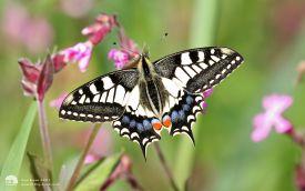 Swallowtail at Hickling Broad, 20th May 2017