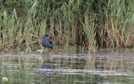 Western Purple Swamphen at Minsmere, 4th July 2016