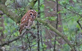 Tawny Owl at Low Barns, 5th May 2014