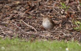 Thrush Nightingale at Hartlepool Headland, 19th May 2013