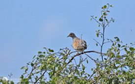 Turtle Dove in Norfolk, 21st June 2016