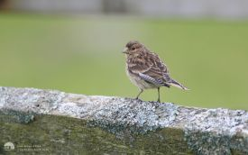 Twite at Kilmuir, 3rd August 2007