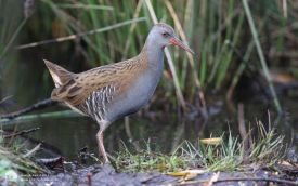 Water Rail at Hetton Bogs, 10th November 2007