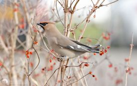 Waxwing at RSPB Saltholme, 18th February 2017