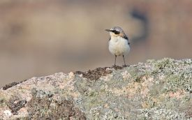 Northern Wheatear at Fidden, 28th May 2012