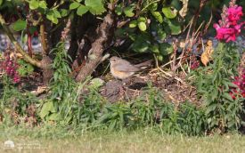 White-throated Robin at Hartlepool Headland, 6th June 2011