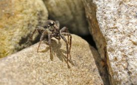 Wolf Spider at Etherley Moor, 3rd July 2017