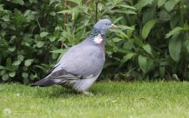 Woodpigeon at Etherley Moor, 17th April 2017