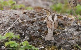 Wryneck at South Gare, 19th May 2013