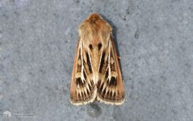 Antler Moth at Etherley Moor, 22nd July 2006