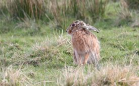 Brown Hare at Sleightholme, 31st March 2007