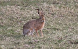 Brown Hare at Bishops Park, 1st March 2008