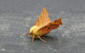 Canary Shouldered Thorn at Etherley Moor, 16th September 2006
