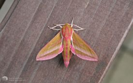 Elephant Hawkmoth at Etherley Moor, 10th June 2007