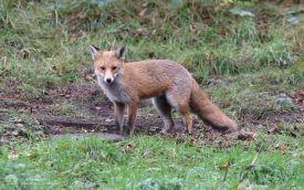 Fox at Thornley Woods, 10th November 2007