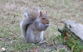 Grey Squirrel at Thornley Woods, 5th February 2006