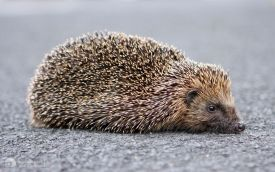 Hedgehog at Etherley Moor, 21st June 2008
