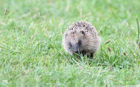 Hedgehog at Saltholme, 4th September 2016