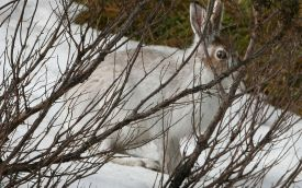Mountain Hare at Blairnamarrow, 26th March 2006