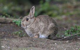 Rabbit at Low Barns, 9th April 2006