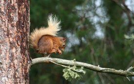 Red Squirrel at Loch Garten, 17th June 2006
