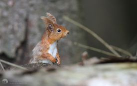 Red Squirrel at Killhope, 12th June 2009