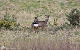 Roe Deer at The Batts, 20th March 2016
