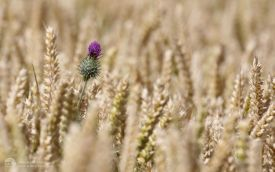Thistle in wheat field at Bradbury, 13th August 2016