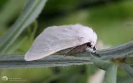 White Satin Moth at Etherley Moor, 29th July 2006