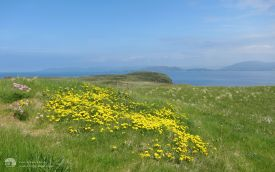 Wild flowers on Staffa, 30th May 2012